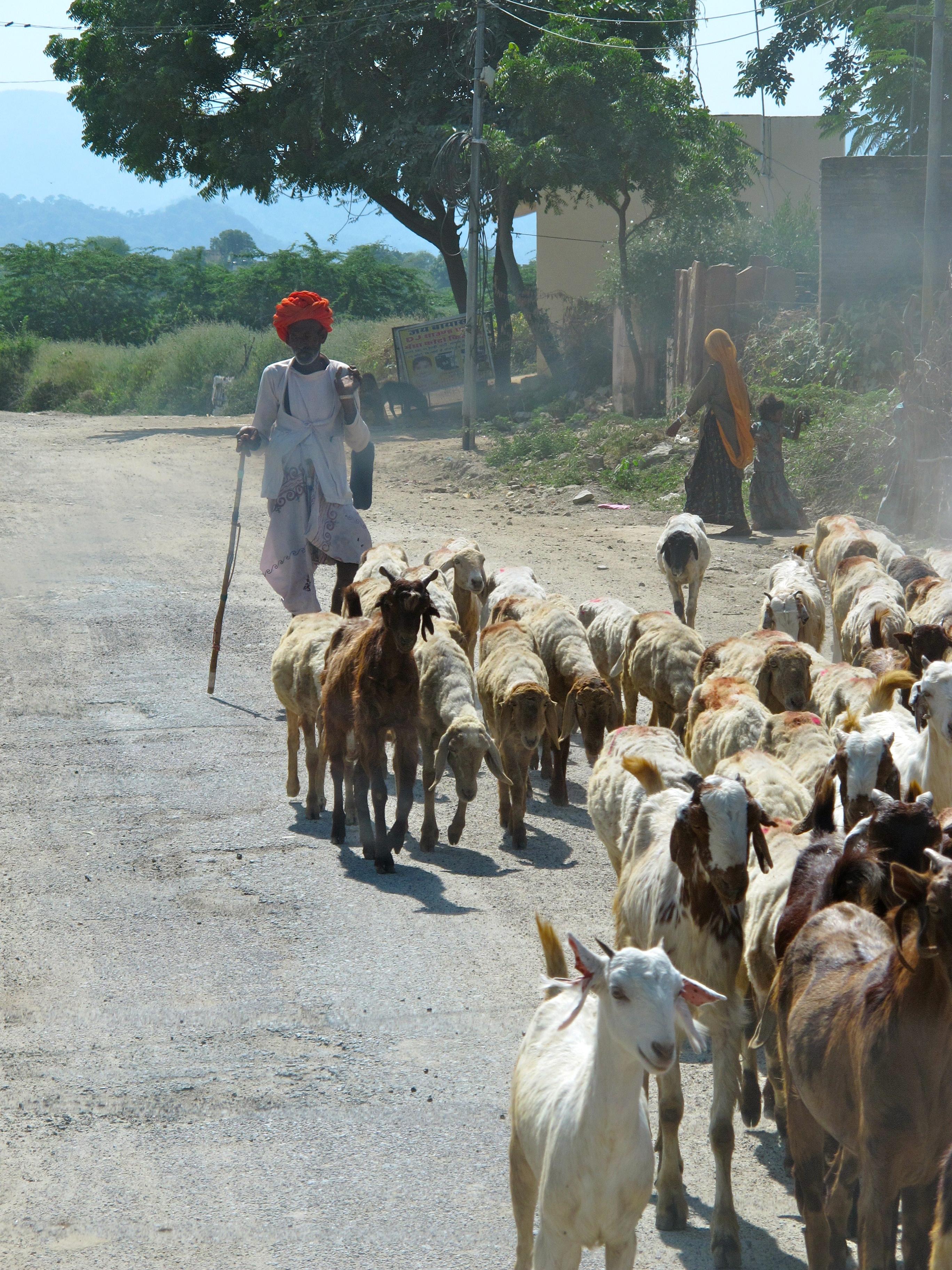 Shepherd - Jodhpur - India