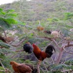 Weird but Wonderful | Chickens in a tree