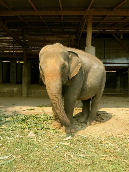 elephant_chiang mai_thailand