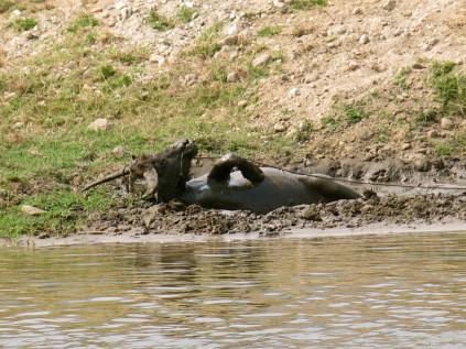 water buffalo_chiang mai_thailand