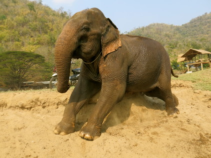 elephant scratching_chiang mia_thailand