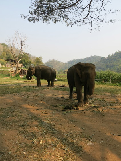 Elephants_chiang mai_Thailand