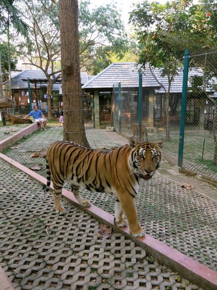 tiger kingdom_chiang mai_thailand