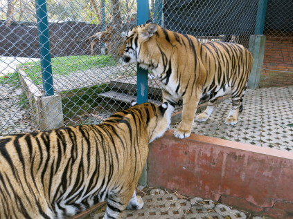 tiger kingdom_chiang mai_thaliand