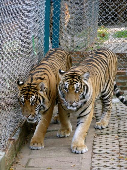 tiger kingdom_chiang mai_thaliand